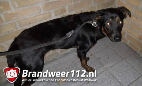Politie treft verdwaalde hond aan aan de Rossinistraat Waalwijk