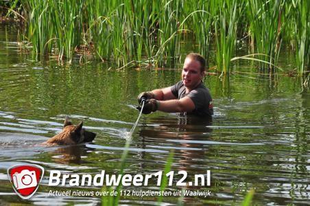 Brandweerman redt hond uit Waalwijkse vijver aan de Groenewoudlaan Waalwijk