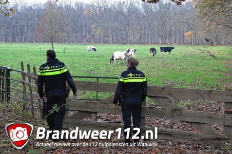 Springende koe laat politie uitrukken naar het Hoefsvenlaan Waalwijk