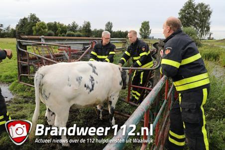 Stier zit met zijn kop vast in hek, brandweer bevrijdt hem