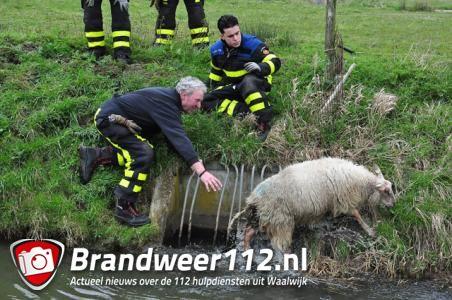 Schaap houdt brandweer bezig aan de Gansoyensesteeg Waalwijk