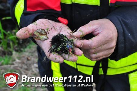 Brandweer helpt jonge waterhoentjes uit de put in Waalwijk