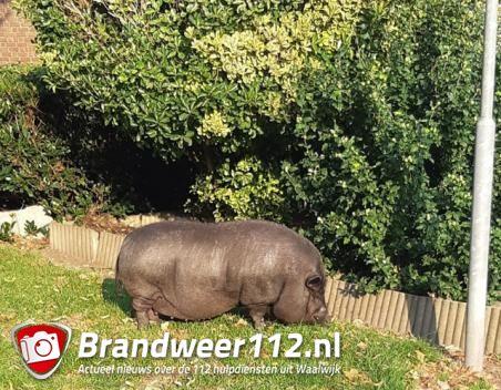 Politie rukt uit voor loslopend varken aan de Guido Gezellestraat Waalwijk