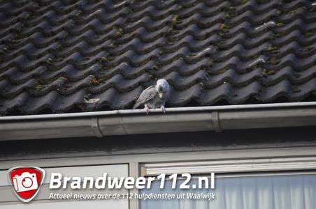 """Brandweer Waalwijk doet vergeefse poging om vermiste papegaai te redden: ,,Het is echt mijn alles"""""""