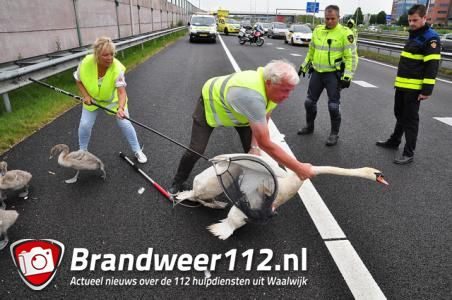 Zwanenfamilie gaat niet aan de kant voor auto's op de A59 bij Waalwijk