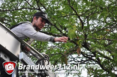 Papegaai zit in boom in Waalwijk